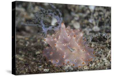 Close-Up of a Beautiful Halgerda Batangas Nudibranch-Stocktrek Images-Stretched Canvas Print