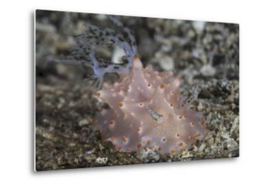 Close-Up of a Beautiful Halgerda Batangas Nudibranch-Stocktrek Images-Metal Print