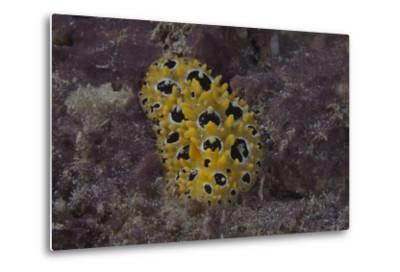 Phyllidia Ocellata Nudibranch-Stocktrek Images-Metal Print