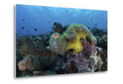 A Pink Anemonefish Swims Near its Host Anemone-Stocktrek Images-Metal Print