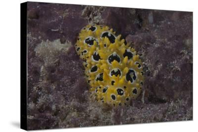 Phyllidia Ocellata Nudibranch-Stocktrek Images-Stretched Canvas Print