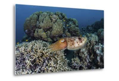 A Cuttlefish Lays Eggs in a Fire Coral on a Reef in the Solomon Islands-Stocktrek Images-Metal Print