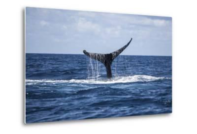 A Humpback Whale Raises its Tail as it Dives into the Atlantic Ocean-Stocktrek Images-Metal Print