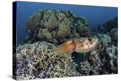 A Cuttlefish Lays Eggs in a Fire Coral on a Reef in the Solomon Islands-Stocktrek Images-Stretched Canvas Print