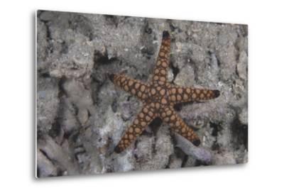 Close-Up of a Sea Star, Beqa Lagoon Fiji-Stocktrek Images-Metal Print