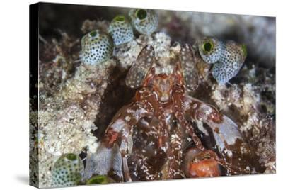 A Mantis Shrimp Peers Out of its Lair on a Reef in Indonesia-Stocktrek Images-Stretched Canvas Print