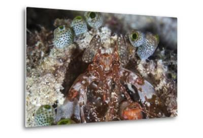 A Mantis Shrimp Peers Out of its Lair on a Reef in Indonesia-Stocktrek Images-Metal Print