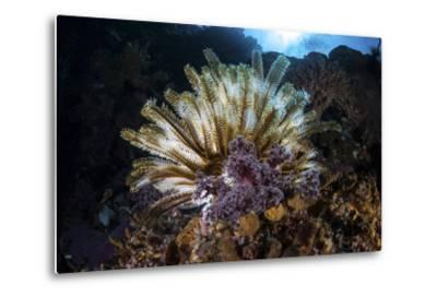 A Colorful Crinoid in Komodo National Park, Indonesia-Stocktrek Images-Metal Print