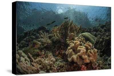 A Beautiful Coral Reef Grows in Komodo National Park, Indonesia-Stocktrek Images-Stretched Canvas Print