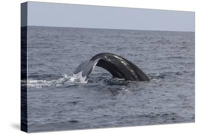 A Humpback Whale Dives in the Caribbean Sea-Stocktrek Images-Stretched Canvas Print