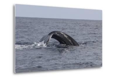 A Humpback Whale Dives in the Caribbean Sea-Stocktrek Images-Metal Print