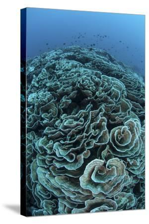 Corals are Beginning to Bleach on a Reef in Indonesia-Stocktrek Images-Stretched Canvas Print