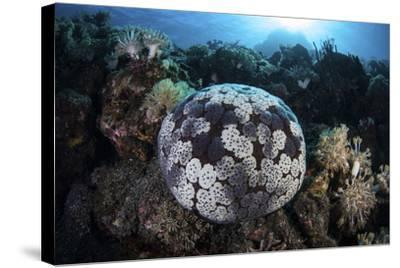 A Pin Cushion Starfish Clings to a Coral Reef-Stocktrek Images-Stretched Canvas Print