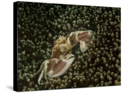 Porcelain Crab in Anemone, Lembeh Strait, Indonesia-Stocktrek Images-Stretched Canvas Print