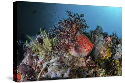 A Colorful Sea Apple Clings to a Reef in Indonesia-Stocktrek Images-Stretched Canvas Print