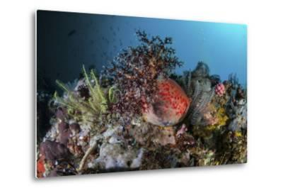 A Colorful Sea Apple Clings to a Reef in Indonesia-Stocktrek Images-Metal Print