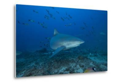 A Large Bull Shark at the Bistro Dive Site in Fiji-Stocktrek Images-Metal Print