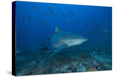 A Large Bull Shark at the Bistro Dive Site in Fiji-Stocktrek Images-Stretched Canvas Print