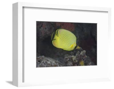 Latticed Buterflyfish, Fiji-Stocktrek Images-Framed Premium Photographic Print