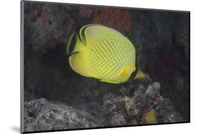 Latticed Buterflyfish, Fiji-Stocktrek Images-Mounted Premium Photographic Print