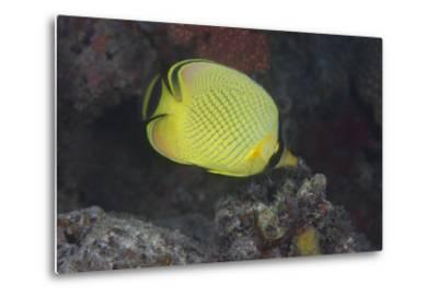 Latticed Buterflyfish, Fiji-Stocktrek Images-Metal Print