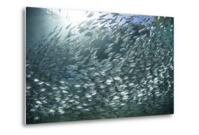 A Large School of Scad in the Solomon Islands-Stocktrek Images-Metal Print