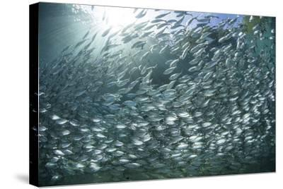 A Large School of Scad in the Solomon Islands-Stocktrek Images-Stretched Canvas Print