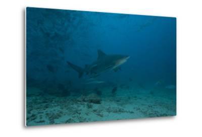 A Large Bull Shark at the Bistro Dive Site in Fiji-Stocktrek Images-Metal Print