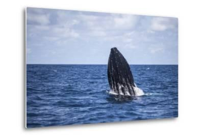 A Humpback Whale Begins to Breach Out of the Atlantic Ocean-Stocktrek Images-Metal Print