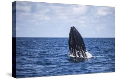 A Humpback Whale Begins to Breach Out of the Atlantic Ocean-Stocktrek Images-Stretched Canvas Print