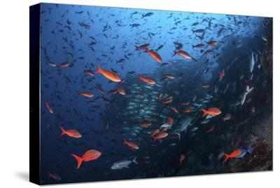 Colorful Pacific Creolefish in Deep Water Near Cocos Island, Costa Rica-Stocktrek Images-Stretched Canvas Print