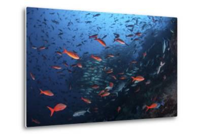 Colorful Pacific Creolefish in Deep Water Near Cocos Island, Costa Rica-Stocktrek Images-Metal Print