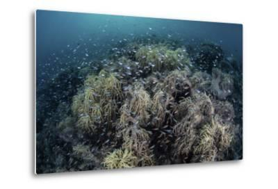 Cardinalfish Swimming Above Soft Corals in Komodo National Park, Indonesia-Stocktrek Images-Metal Print