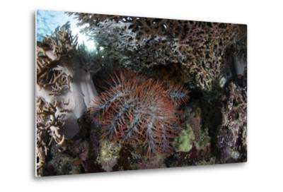 A Crown-Of-Thorns Starfish Feeds on Corals on a Reef-Stocktrek Images-Metal Print