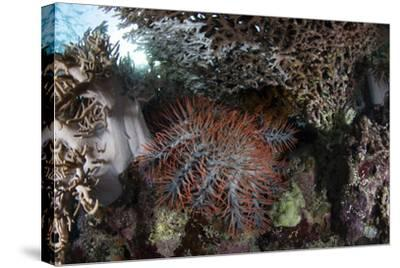 A Crown-Of-Thorns Starfish Feeds on Corals on a Reef-Stocktrek Images-Stretched Canvas Print