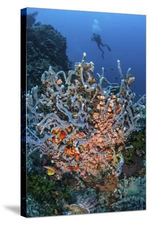 A Scuba Diver Explores a Colorful Coral Reef in Indonesia-Stocktrek Images-Stretched Canvas Print