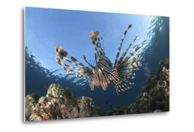 Facial View of a Lionfish Showing its Spines-Stocktrek Images-Metal Print