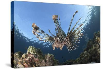 Facial View of a Lionfish Showing its Spines-Stocktrek Images-Stretched Canvas Print