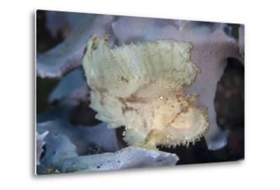 A Leaf Scorpionfish on a Reef in Komodo National Park, Indonesia-Stocktrek Images-Metal Print