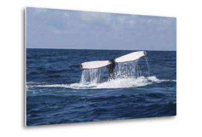 A Humpback Whale Raises its Tail as it Dives into the Atlantic Ocean-Stocktrek Images-Metal Print