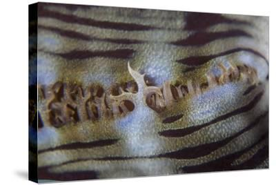 Detail of a Giant Clam Growing on a Reef in Indonesia-Stocktrek Images-Stretched Canvas Print