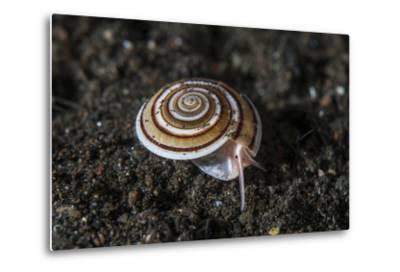 A Live Sundial Shell Crawls across the Seafloor-Stocktrek Images-Metal Print