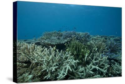 Healthy Corals Cover a Reef in Beqa Lagoon, Fiji-Stocktrek Images-Stretched Canvas Print