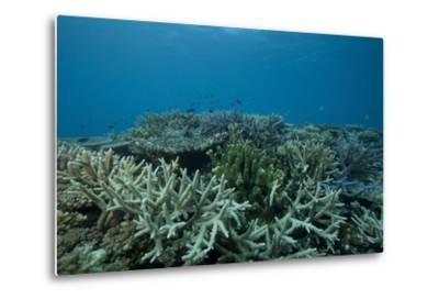 Healthy Corals Cover a Reef in Beqa Lagoon, Fiji-Stocktrek Images-Metal Print