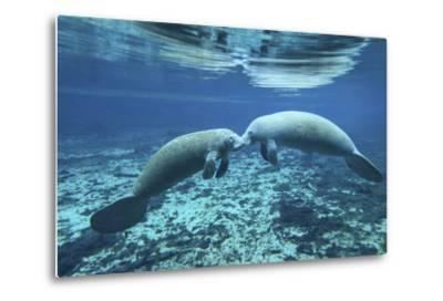 A Pair of Manatees Appear to Be Greeting Each Other, Fanning Springs, Florida-Stocktrek Images-Metal Print
