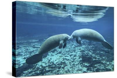 A Pair of Manatees Appear to Be Greeting Each Other, Fanning Springs, Florida-Stocktrek Images-Stretched Canvas Print