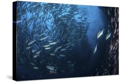 A Large School of Trevally Near Cocos Island, Costa Rica-Stocktrek Images-Stretched Canvas Print