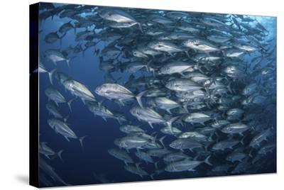 Schooling Bigeye Jacks Near Cocos Island, Costa Rica-Stocktrek Images-Stretched Canvas Print