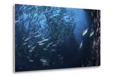 A Large School of Trevally Near Cocos Island, Costa Rica-Stocktrek Images-Metal Print