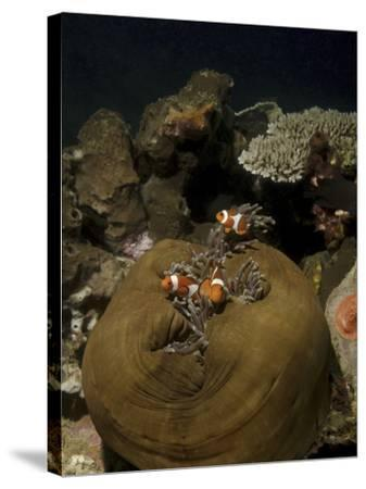 Anemonefish in their Host Anemone, Lembeh Strait, Indonesia-Stocktrek Images-Stretched Canvas Print